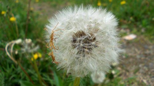dandelion macro seeds