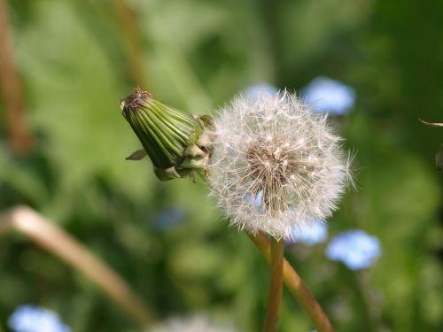 dandelion bud plant