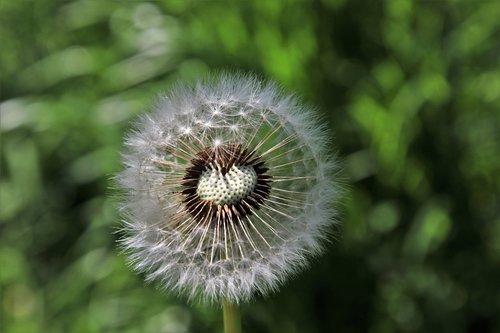 dandelion  spring  nature