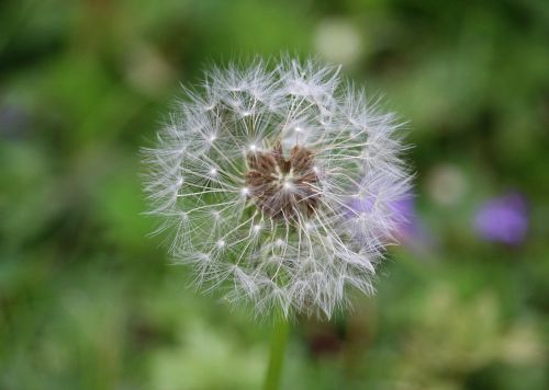 dandelion seeds boll