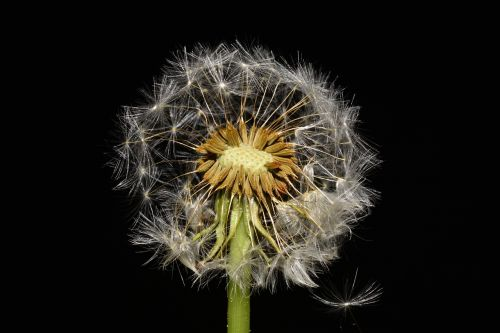 dandelion garden meadow