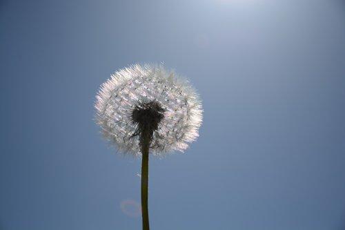 dandelion  white  macro