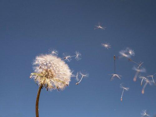dandelion  nature  fluffy