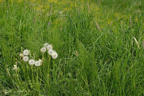 dandelion  weed  medicinal herb
