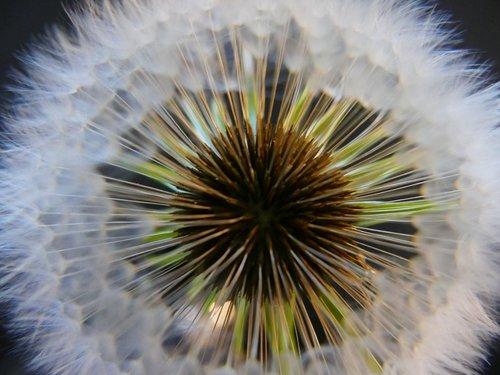 dandelion  downy  seed