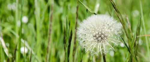 dandelion  common dandelion  seeds