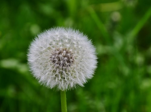 dandelion  green  white
