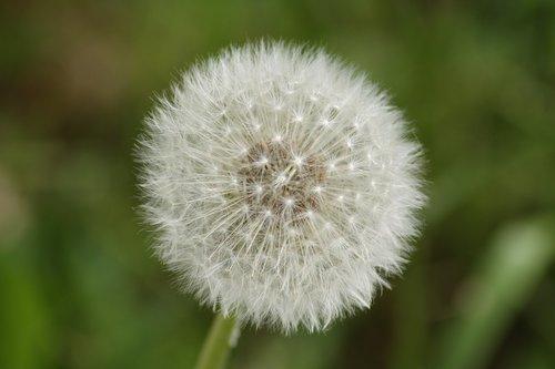 dandelion  close up  macro