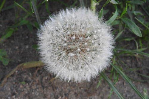 dandelion  sonchus oleraceus  spring