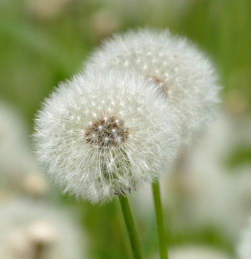 dandelion  filigree  pointed flower