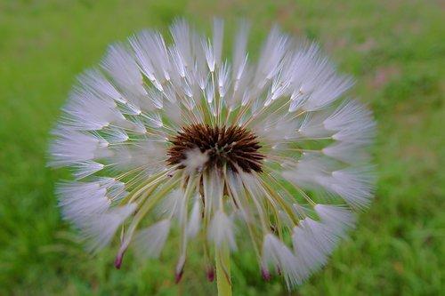 dandelion  spring  sonchus oleraceus