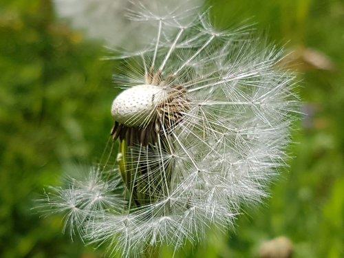 dandelion  summer  seeds