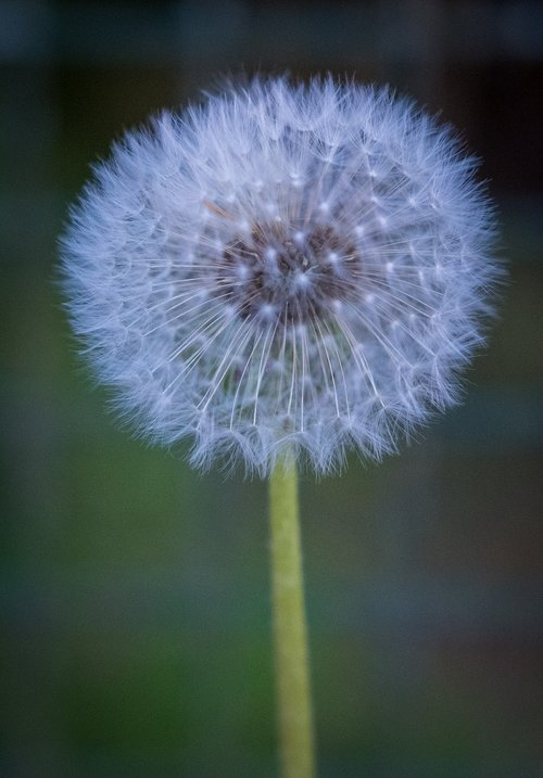 dandelion  spring  bloom