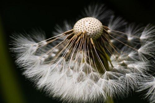 dandelion  seeds  natural