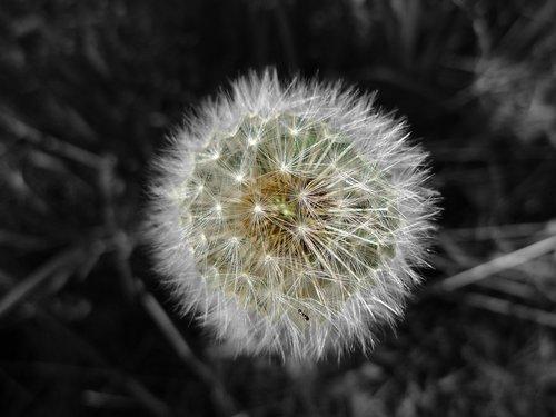 dandelion  pappus  nature