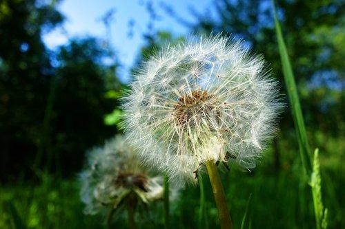 dandelion  plant  seed head
