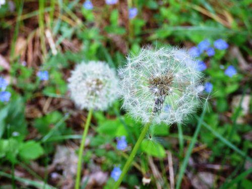dandelion flower flowers
