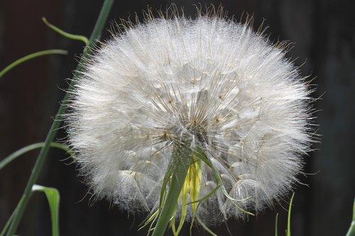 dandelion  summer  plant