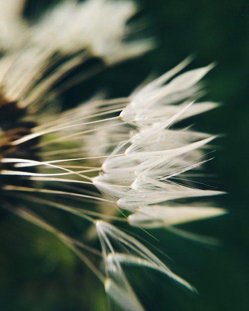 dandelion  macro  beauty