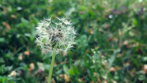 dandelion  ankara  flower