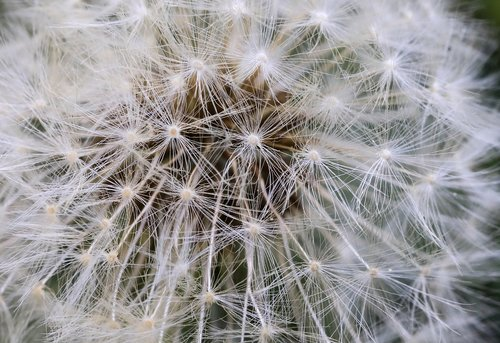 dandelion  flower seeds  mag
