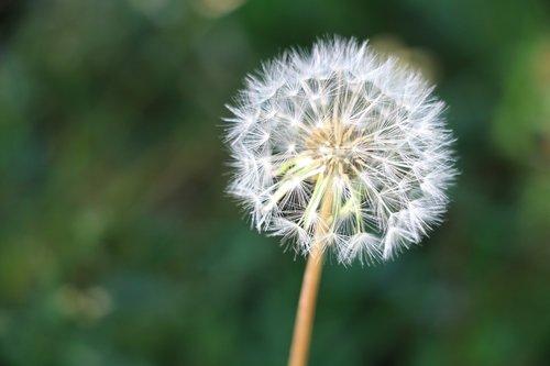 dandelion  seeds  stem
