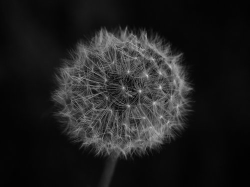 dandelion  sw  black and white