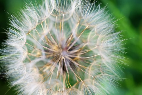 dandelion  lint  fluff