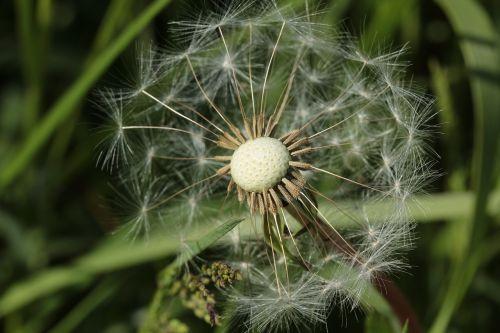 dandelion plant seeds