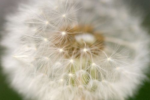 dandelion cream of society macro