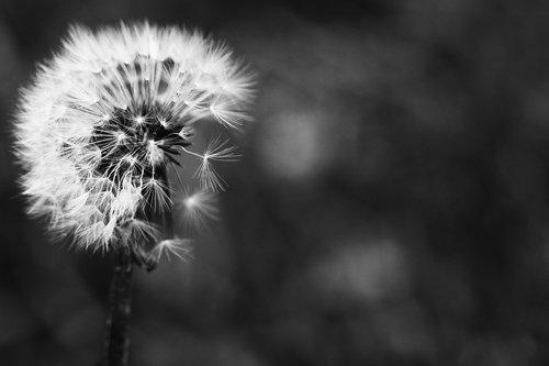 kiaulpienė, Pavasario gėlė, makro, gėlė, gamta