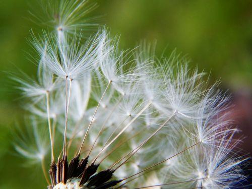 dandelion dandelions medical