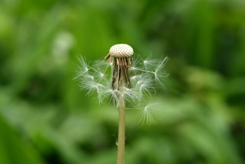 dandelion seeds faded