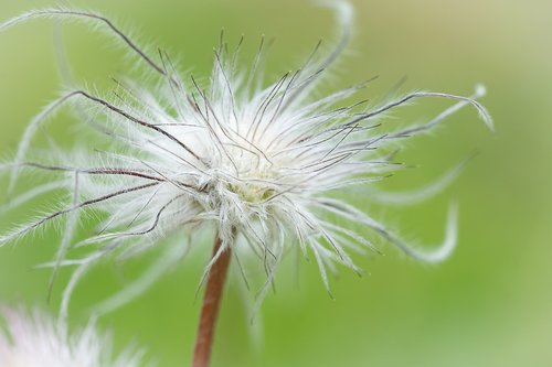 dandelion  seeds  faded