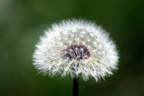 dandelion  furry  fluffy dandelion