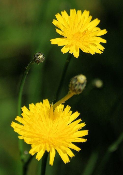 dandelion taraxacum officinale wild flower