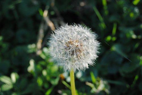 dandelion  green  plant