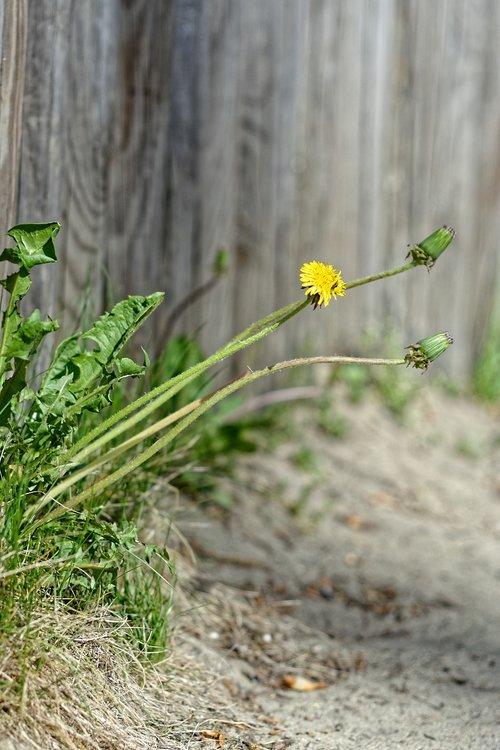 dandelion  sonchus oleraceus  bad