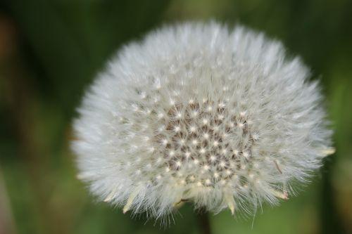 dandelion boll faded