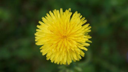 dandelion taraxacum officinale yellow flower