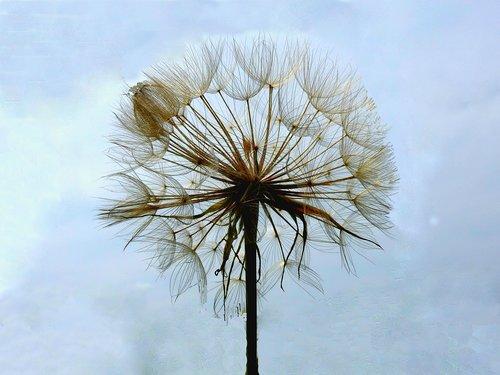 dandelion  beard  of