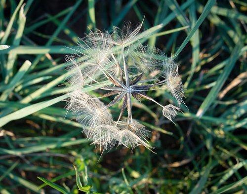 dandelion  field  meadow