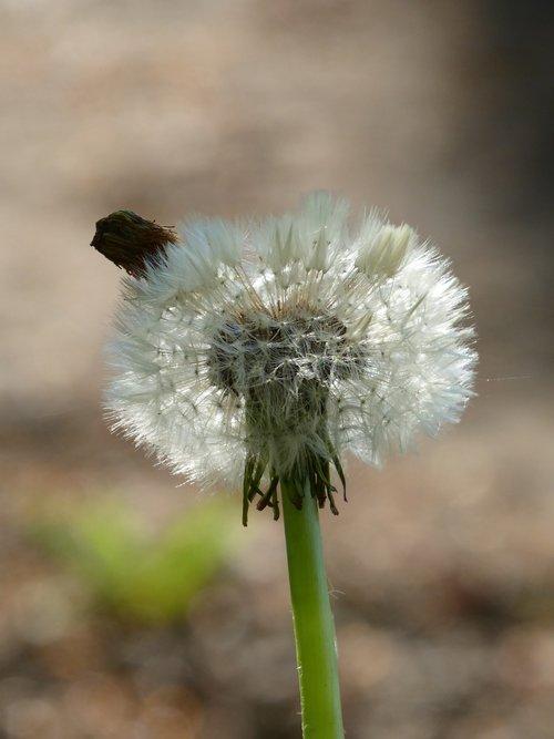 dandelion  clock  plant