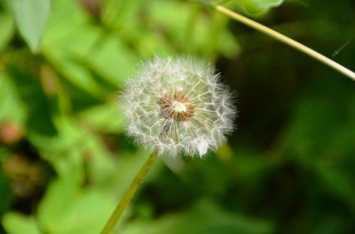 dandelion seeds multiplication