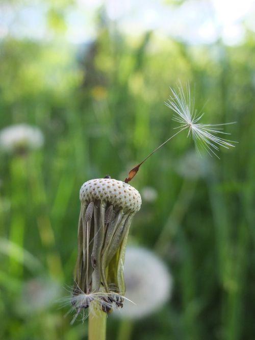 dandelion seeds meadow