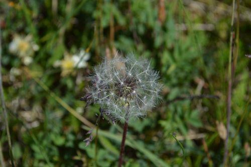 dandelion lint seeds