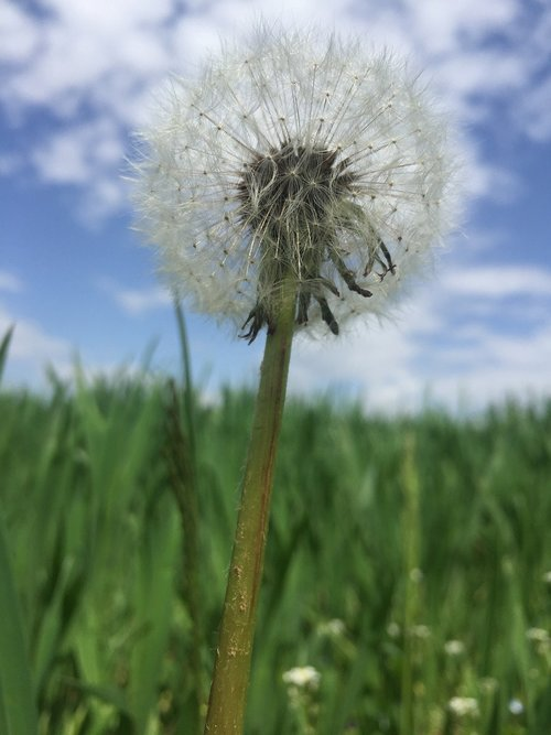 dandelion  field  out