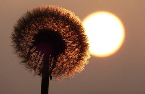 dandelion  sun  pointed flower