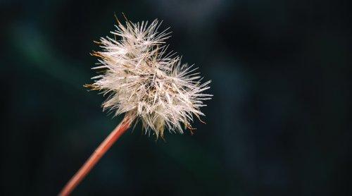 dandelion  dandelion clock  plant
