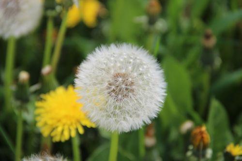 dandelion flower faded dandelion